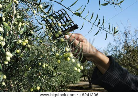collection of green olive trees in crop fields