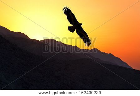 Steppe Eagle (Aquila nipalensis) flying along mountain ridge at sunset Uzbekistan