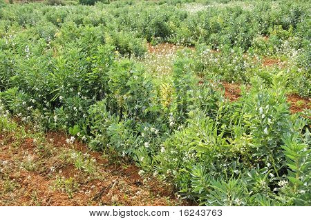 view of a broad bean plants plantation