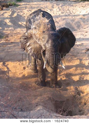 Elefant Spraying Water And Sand With His Trunck