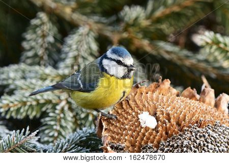 young blue tit and in  winter birdwatching