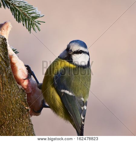 blue tit and winter birdwatching in winter time