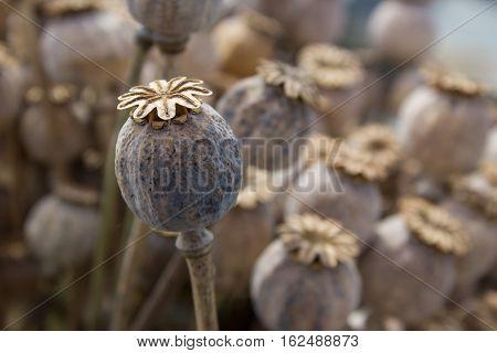 Dried poppy head. Opium drugs. dry poppy