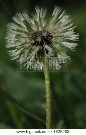 White Ball Of Dandelion