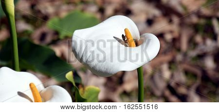 Arum or Calla Lily (Zantedeschia) in a Flowerbed. Calla flowers production.
