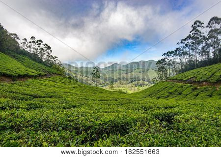 Tea plantations around Munnar tea estate hills in Kerala state Idukki district India