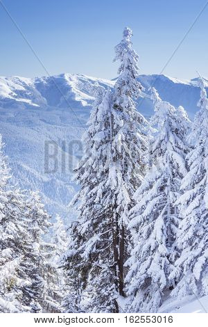 Winter Landscape With Fir Trees Covered By White Snow In Brasov, Romania