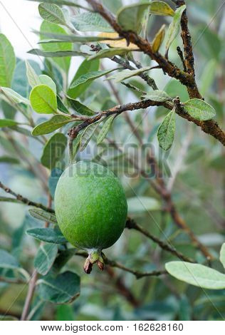 Feijoa tree twig with fruit (Acca),tropical tree