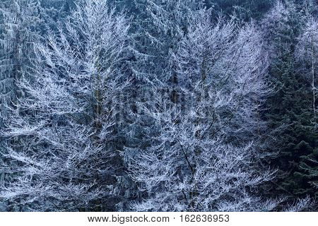 Trees with hoar frost in the late evening.