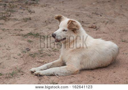The Dog Bang Kaew breed of Thailand