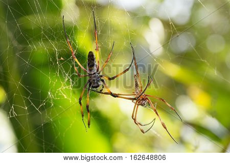 Golden Silk Orb-weaver On Net Madagascar