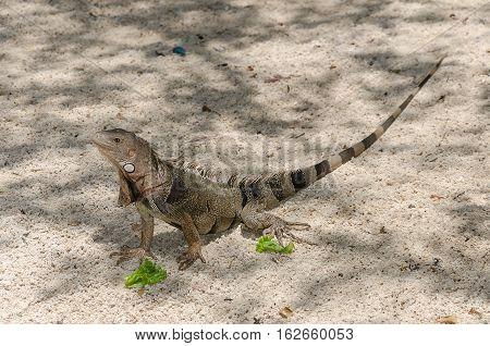 Wild Iguana At The Sand In Aruba