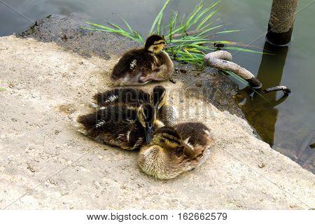 Little Ducklings Bask On The Shore
