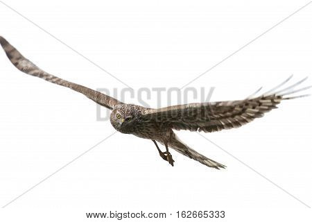 Northern Harrier (Circus cyaneus) female in flight isolated on white background