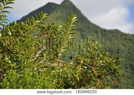 Mountain reunion island green fruits plants tree