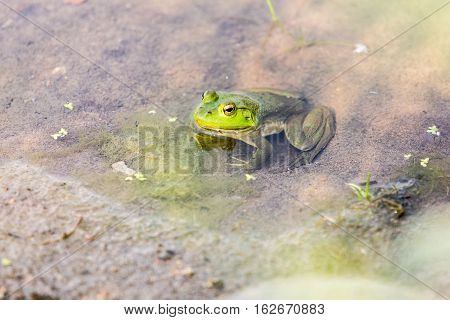 Bullfrog Hiding In The Water In A Slimy Swamp