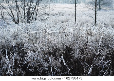 many european goldenrods (Solidago virgaurea) covered with hoar and snow in winter