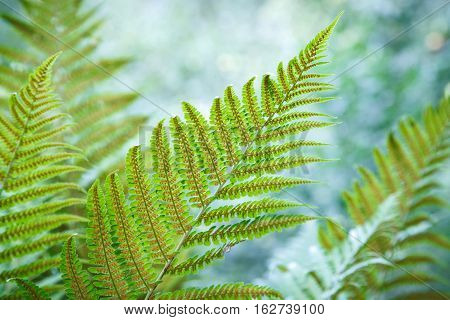 Beautiful fern leaves with spores on a blurred natural background