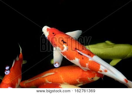 The carp fish or Koi fish swim in the pond