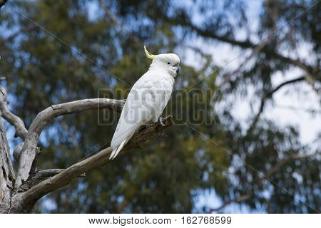 Wild Sulphur-crested Cockatoo (cacatua Galerita) In A Tree