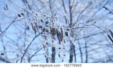 frozen branches linden tree in snow on a blue sky nature winter landscape