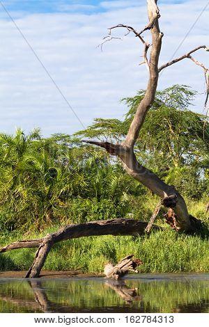 Dry tree above water of small pond. Serengeti, Tanzanya
