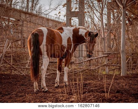 Beautiful piebald horse closeup in the walking open-air cage, nice sunny day. Horse walks on a pasture. Horse eating a hay at ranch summertime.