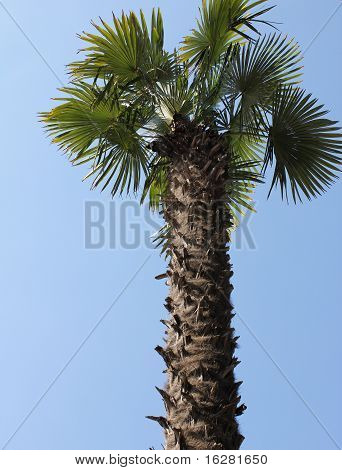 pure natural mediterranean palm