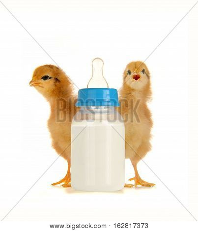 milk and chick on a white background
