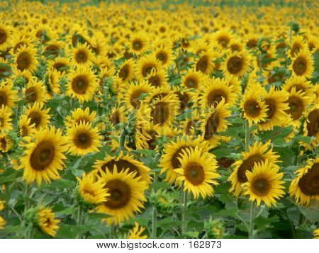 Sunflower Field 3