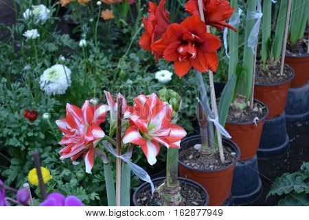 Exquisite amaryllis. White with red. Xochimilco Mexico
