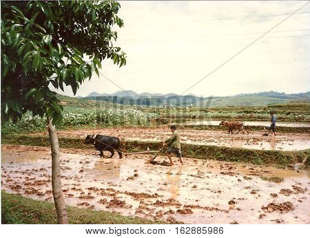 Oxen pull plows in rice paddies near Yangshuo, China, circa 1987.