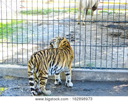 Tiger in a cage in the zoo