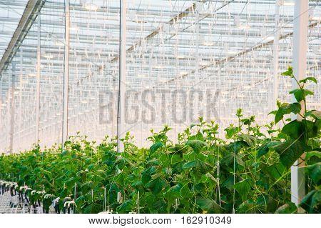 Cucumbers Ripening In Greenhouse