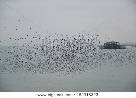Amazing Spectacle Of Starlings Birds Murmuration Flying Over Sea In Winter