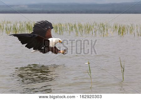 Eagle. Fish hunter. Eagle from Lake Baringo. Kenya, Africa