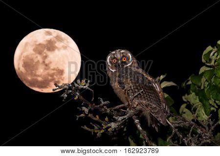 Long-eared Owl (Asio otus) juvenile sitting on an apple tree at night with full moon Belarus
