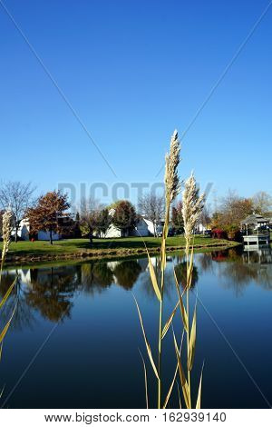 Common reeds (Phragmites australis) grow along the shore of a small lake in the Wesmere Country Club subdivision in Joliet, Illinois, during November.