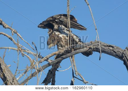 Juvenile Bald Eagle stretching wings while perched in bare winter tree