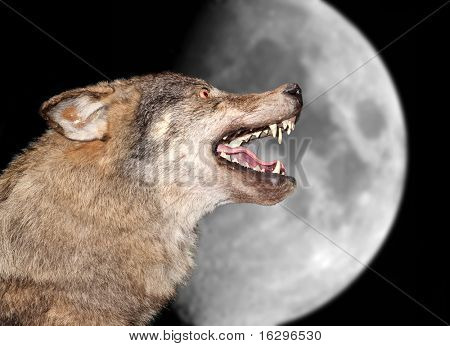 The wolf howls under the moon
