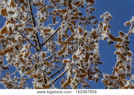 Close-up of hoar frost on  linden tree branches.  Branch of a tree in hoarfrost on background blue sky.