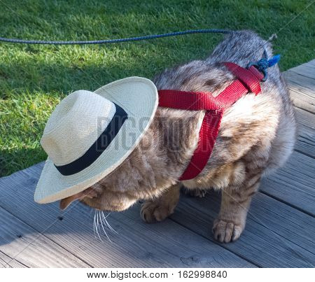 Very old cat modeling his new straw cowboy hat on the boardwalk