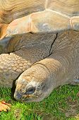 closeup of a big land turtle in a zoo