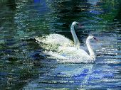 Two white swans on lake