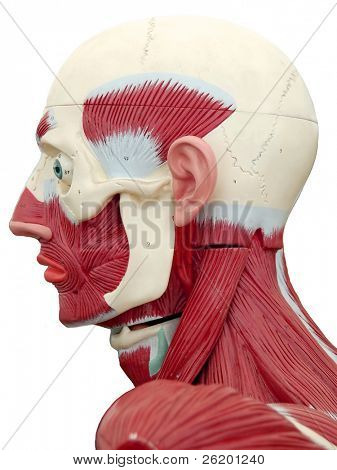 Human anatomy - head muscle structure