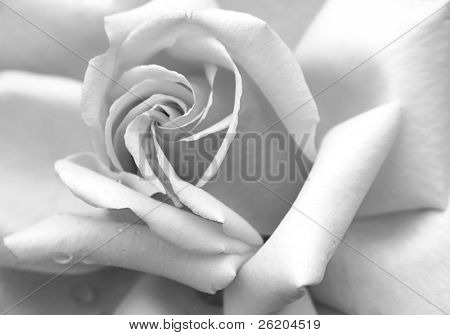 Rose Petals in Black and White