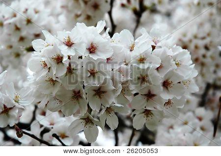 White Cherry Blossoming