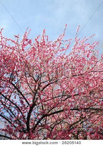 Japonês-de-rosa flor de cerejeira