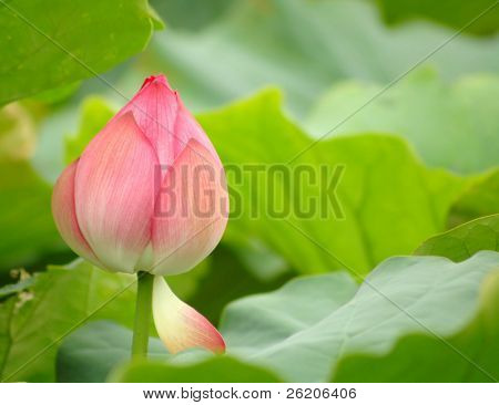 Pink lotus in Tokyo