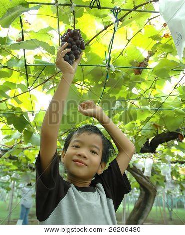 Rapaz pegando uvas em uma fazenda de uva em Chiba, perto de Tóquio